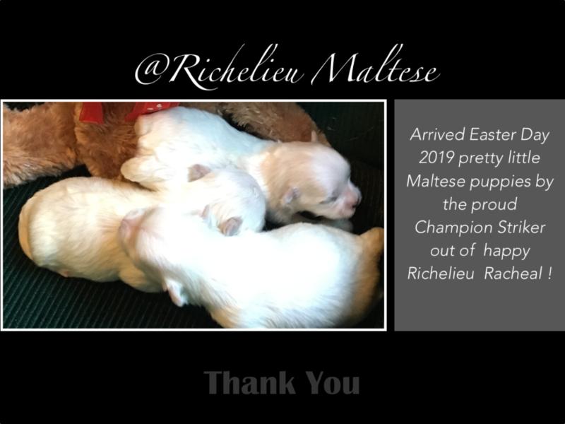 Richelieu Maltese AKC Maltese Puppie Maltese Breeder San