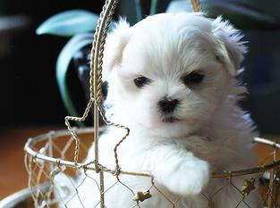 Maltese Puppies Richelieu Maltese Breeder California
